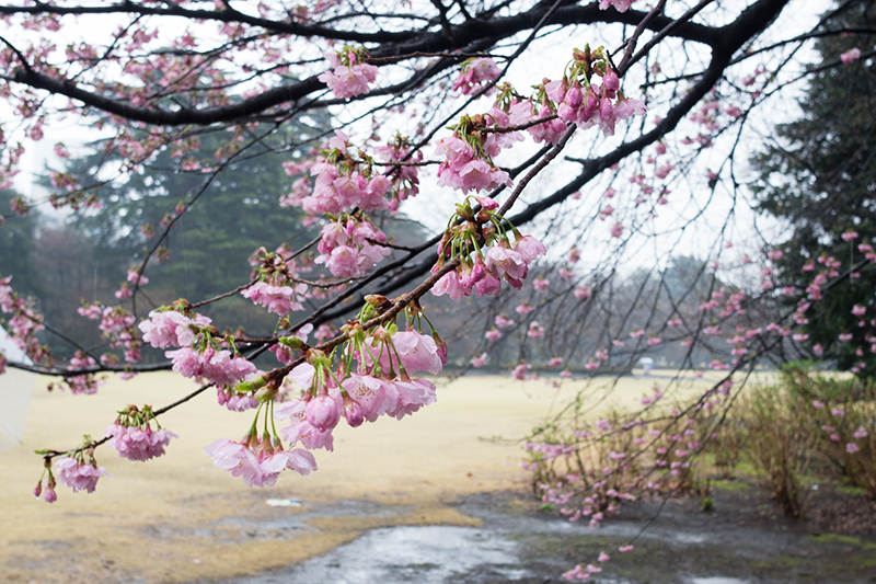 新宿御苑、早咲きの桜_a0003650_22325028.jpg