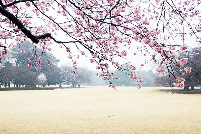 新宿御苑、早咲きの桜_a0003650_2235641.jpg