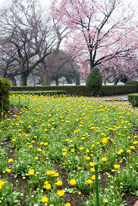 新宿御苑、早咲きの桜_a0003650_22374839.jpg