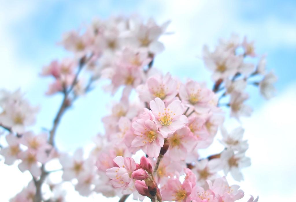 針畑川、渓流釣り解禁・・・マメザクラが開花、オクヤマから養父駅前通い_d0005250_17435543.jpg