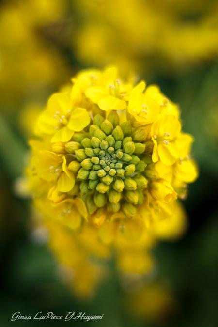 花のある風景 菜の花の雰囲気_b0133053_0235483.jpg