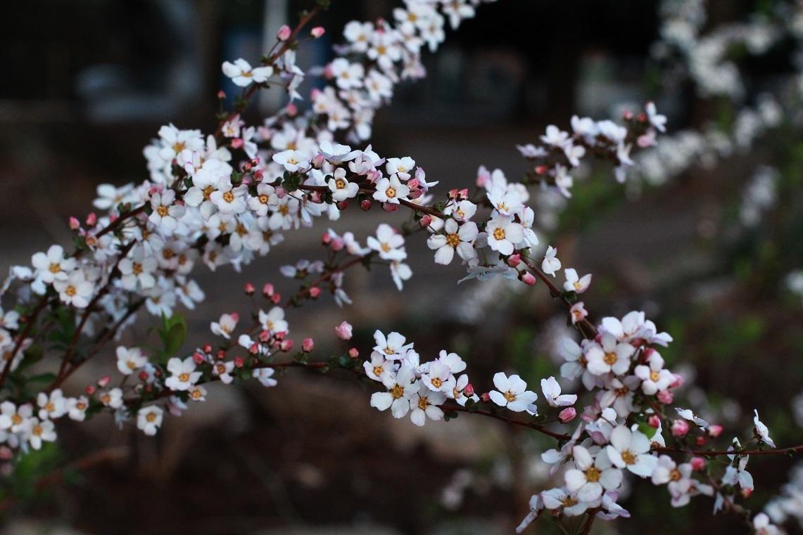 ピンクのユキヤナギ  ~福岡中央公園を愛し育てる会~_a0107574_18185705.jpg