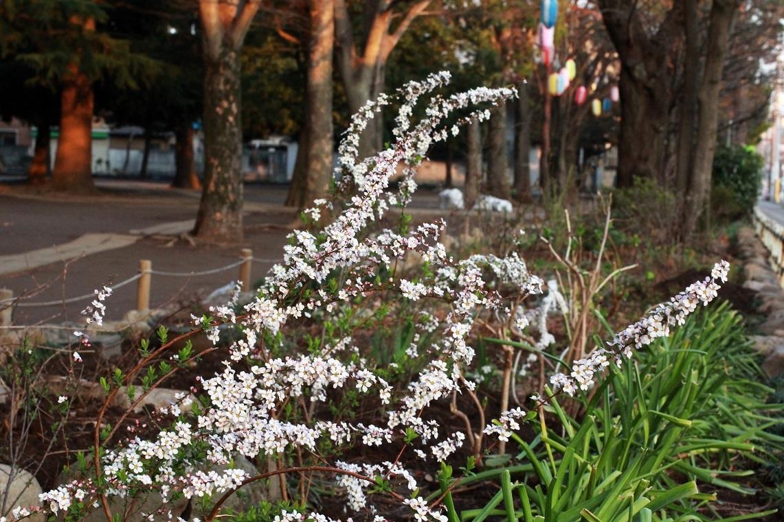 ピンクのユキヤナギ  ~福岡中央公園を愛し育てる会~_a0107574_18190717.jpg
