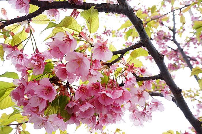 早咲桜_e0016894_135529.jpg