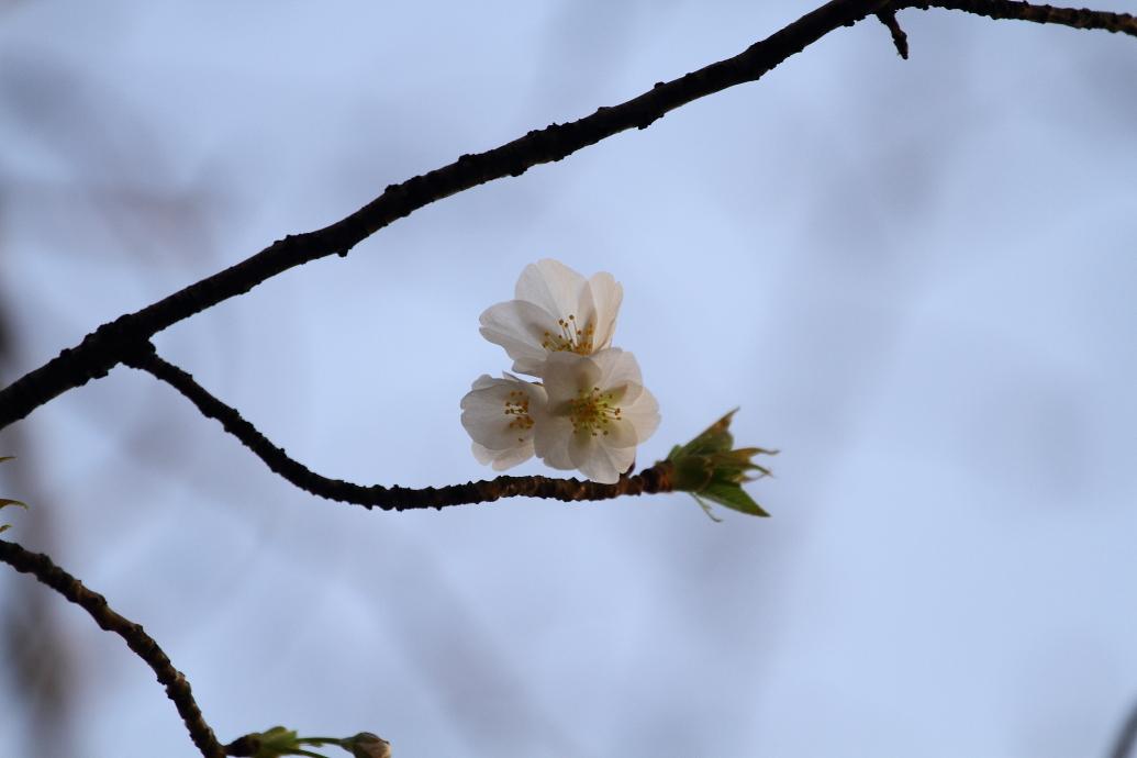 桜が咲いた〜_b0190710_2154297.jpg