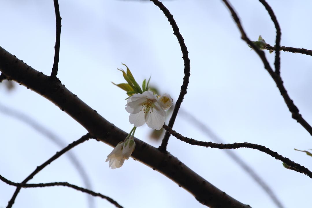 桜が咲いた〜_b0190710_21544455.jpg