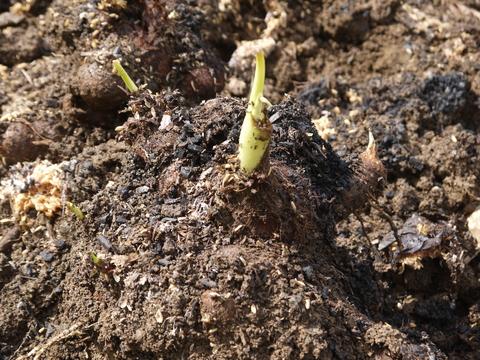 防寒対策誠功!越冬したサトイモの種芋植え付け3・18_c0014967_9115078.jpg