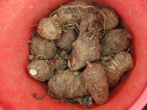 防寒対策誠功!越冬したサトイモの種芋植え付け3・18_c0014967_9175448.jpg