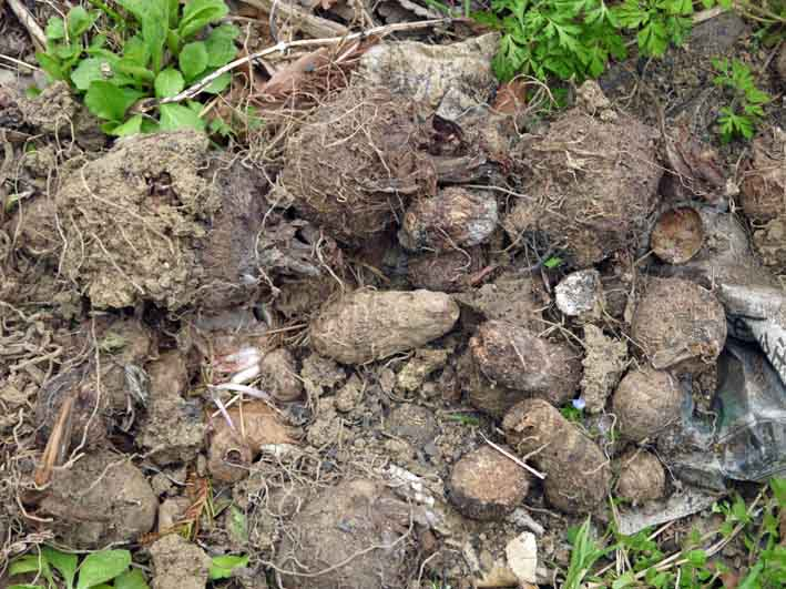 防寒対策誠功!越冬したサトイモの種芋植え付け3・18_c0014967_9381455.jpg
