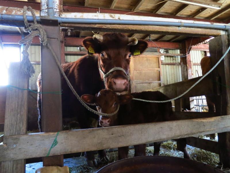 短角牛の子牛出産ラッシュ。お母さん!!レンズは舐めないでください(笑)_b0206037_21093106.jpg