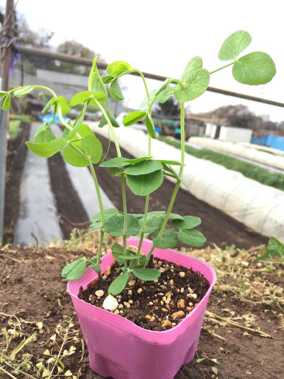 イタリアの初挑戦の 新種エンドウ豆 発芽しましたが 残念ながら育ちませんでした 国産のきぬさやの苗定植します_c0222448_14540111.jpg