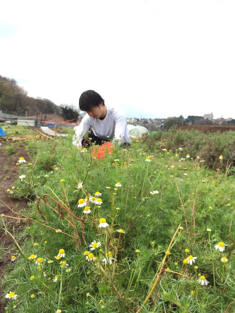 イタリアの初挑戦の 新種エンドウ豆 発芽しましたが 残念ながら育ちませんでした 国産のきぬさやの苗定植します_c0222448_14562020.jpg