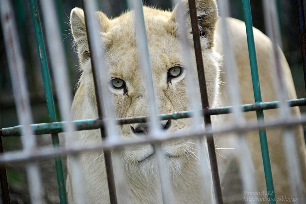 2016.3.21 東北サファリパーク☆ホワイトライオンのルーチェ【White lion】_f0250322_2118859.jpg
