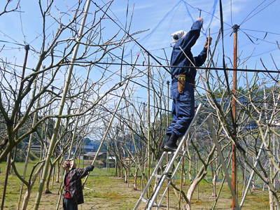 太秋柿 柿園全体をネットで覆い大切な『太秋柿』を育てる匠の惜しまぬ手間ひま_a0254656_17161134.jpg