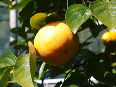 太秋柿 柿園全体をネットで覆い大切な『太秋柿』を育てる匠の惜しまぬ手間ひま_a0254656_17221973.jpg