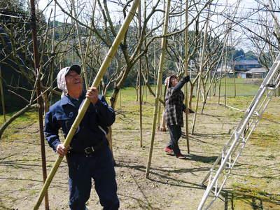 太秋柿 柿園全体をネットで覆い大切な『太秋柿』を育てる匠の惜しまぬ手間ひま_a0254656_17275916.jpg