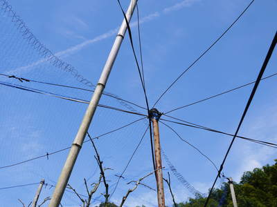 太秋柿 柿園全体をネットで覆い大切な『太秋柿』を育てる匠の惜しまぬ手間ひま_a0254656_1730444.jpg