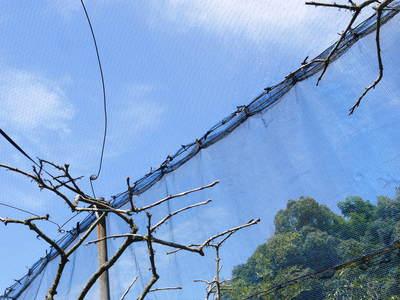 太秋柿 柿園全体をネットで覆い大切な『太秋柿』を育てる匠の惜しまぬ手間ひま_a0254656_17334012.jpg