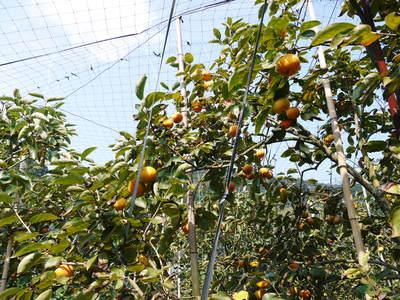 太秋柿 柿園全体をネットで覆い大切な『太秋柿』を育てる匠の惜しまぬ手間ひま_a0254656_1755535.jpg