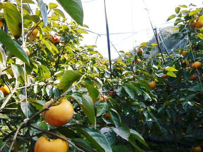 太秋柿 柿園全体をネットで覆い大切な『太秋柿』を育てる匠の惜しまぬ手間ひま_a0254656_17575328.jpg