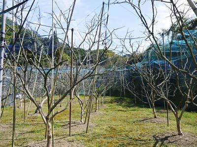 太秋柿 柿園全体をネットで覆い大切な『太秋柿』を育てる匠の惜しまぬ手間ひま_a0254656_18482384.jpg