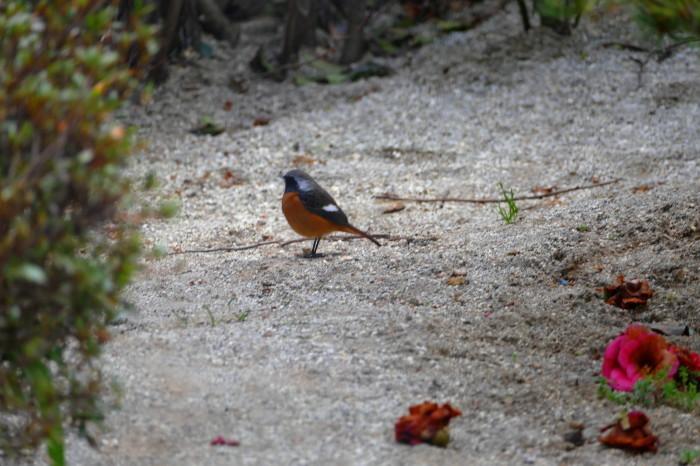 福島市 自宅 「庭に飛んできた野鳥」_d0106628_18293275.jpg