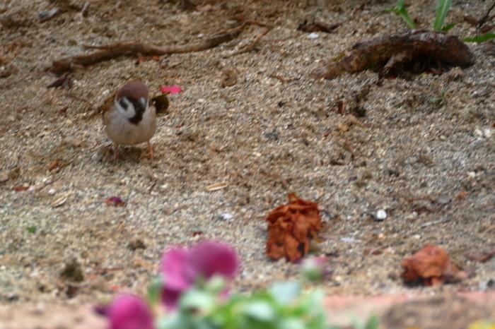 福島市 自宅 「庭に飛んできた野鳥」_d0106628_18294442.jpg