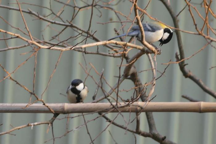 福島市 自宅 「庭に飛んできた野鳥」_d0106628_18295580.jpg