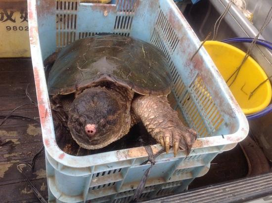 16.03.23(水) 印旛沼周辺カミツキガメ生息個体数:15970❗️_f0035232_17564325.jpg