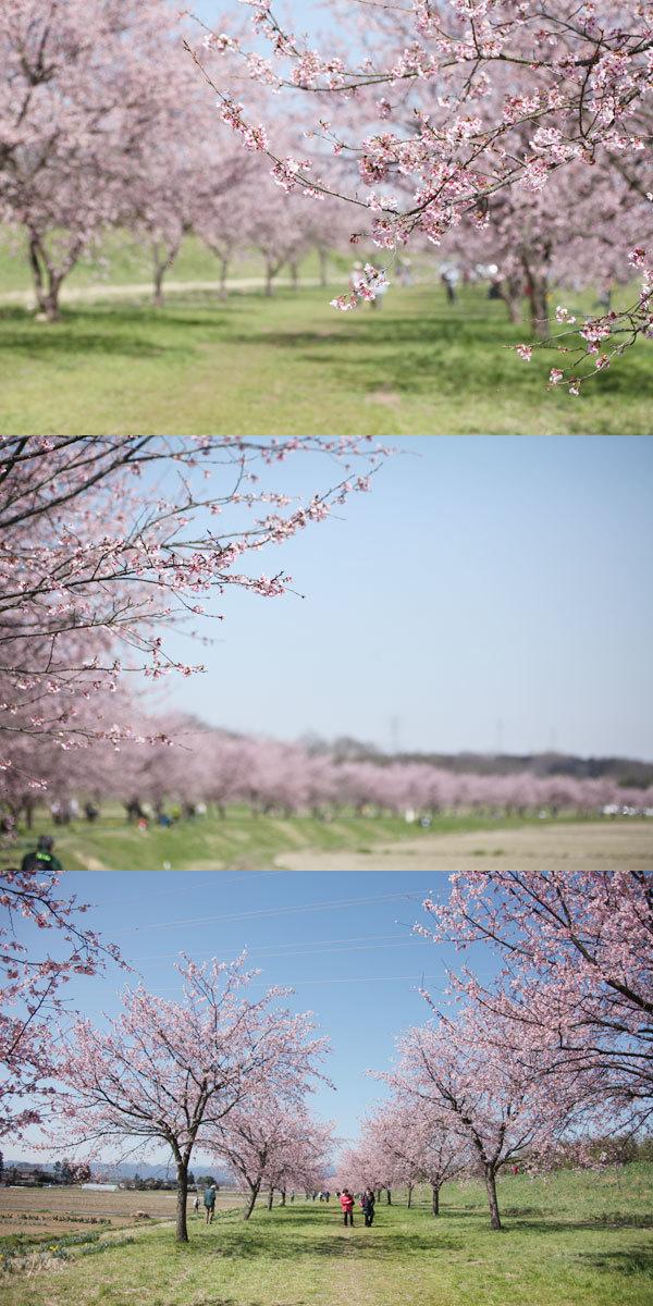 安行寒桜_d0012237_18334705.jpg