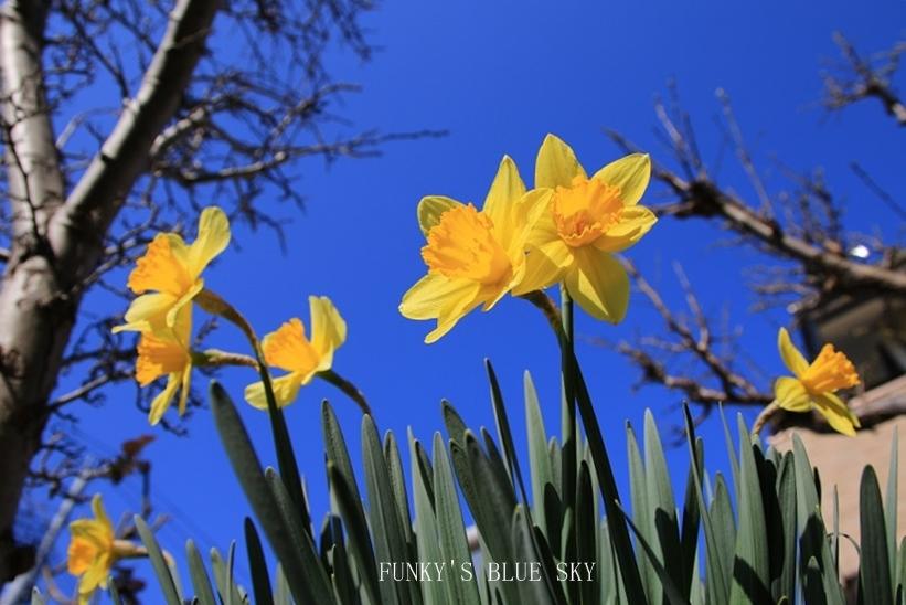 青空と水仙の花とコロンと・・・_c0145250_15314897.jpg