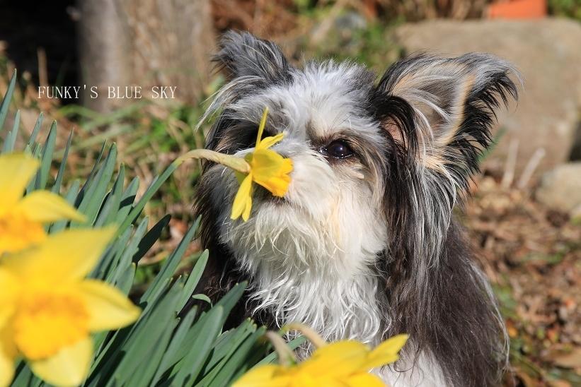 青空と水仙の花とコロンと・・・_c0145250_15315158.jpg