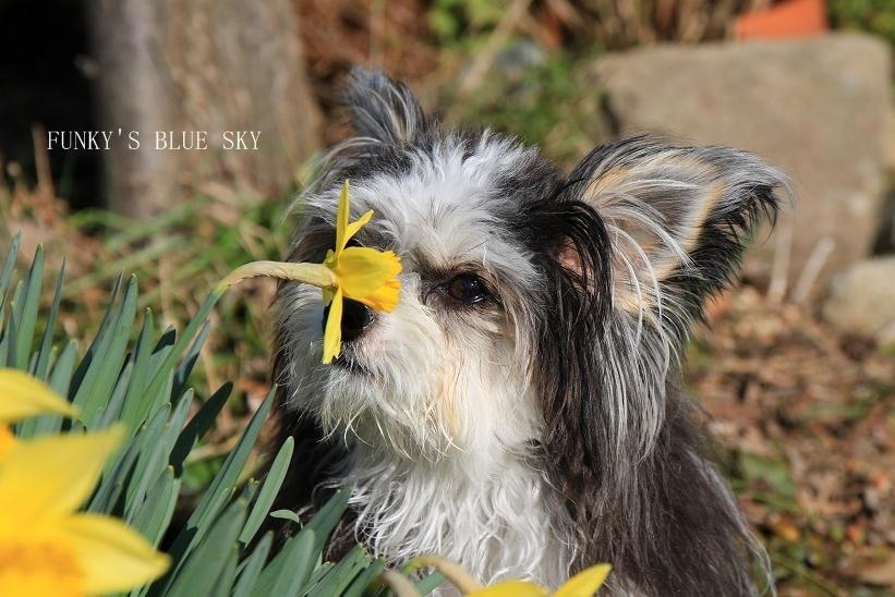 青空と水仙の花とコロンと・・・_c0145250_15315503.jpg