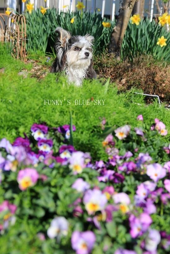 青空と水仙の花とコロンと・・・_c0145250_15315873.jpg