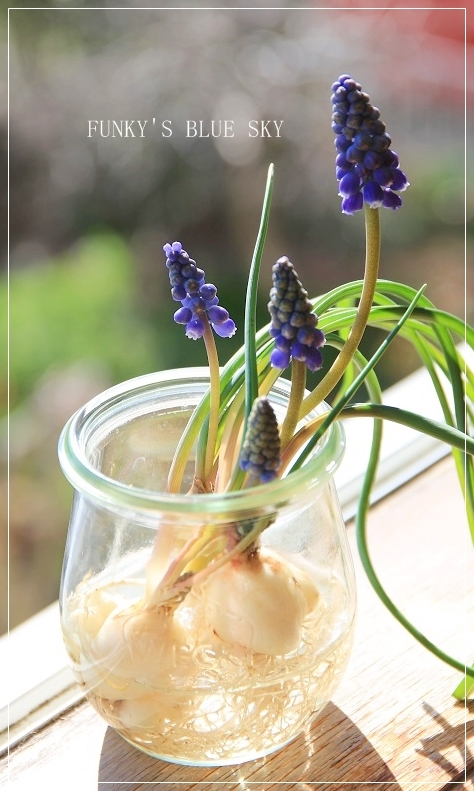 青空と水仙の花とコロンと・・・_c0145250_15321714.jpg