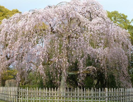 椿の羽織に栗山紅型帯のお客様・御所の桜と猫。_f0181251_18261760.jpg