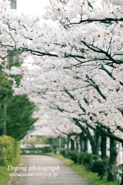 桜並木_e0140159_21482066.jpg