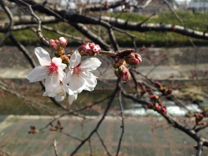 桜、連翹、猫柳、雪柳、花桃、ツツジ…_b0087077_17221359.jpg