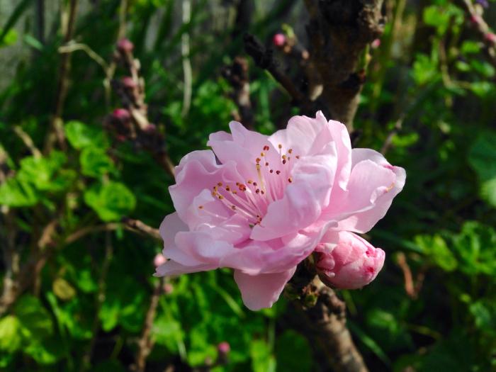 桜、連翹、猫柳、雪柳、花桃、ツツジ…_b0087077_17221564.jpg