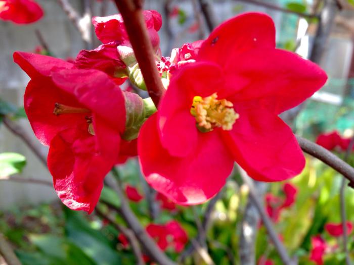 桜、連翹、猫柳、雪柳、花桃、ツツジ…_b0087077_17221649.jpg
