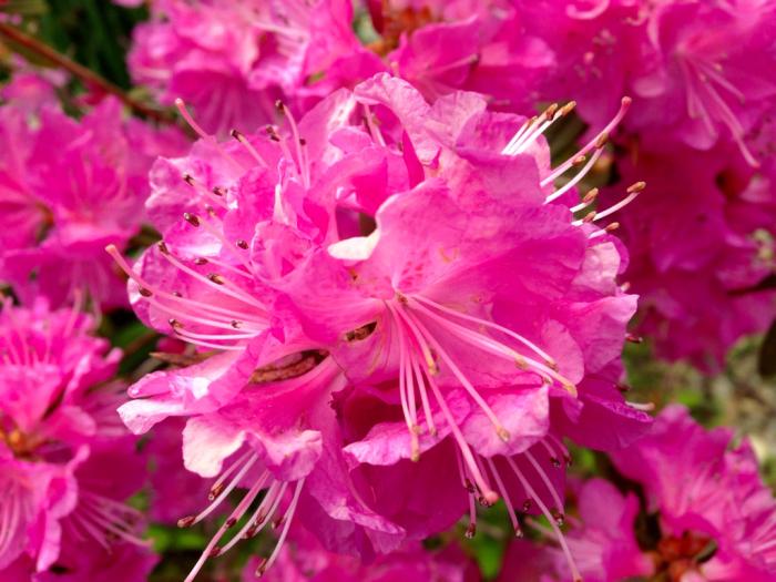 桜、連翹、猫柳、雪柳、花桃、ツツジ…_b0087077_17221694.jpg