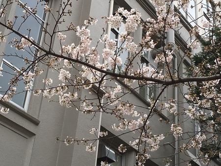 近所の桜並木も桜がちらほら咲き始めました。こうした日常の風景も発信していきたいと思います。_d0027795_16131374.jpg