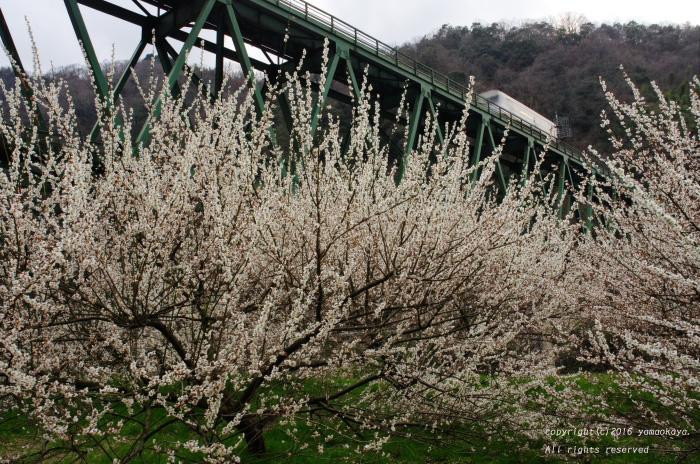 鉄橋と梅林と_d0309612_0284595.jpg