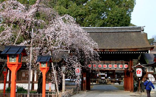 2016桜だより5 平野神社 魁さくら_e0048413_16305072.jpg