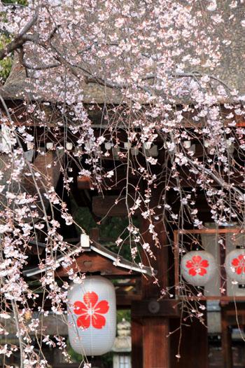 2016桜だより5 平野神社 魁さくら_e0048413_1631108.jpg