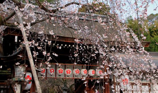 2016桜だより5 平野神社 魁さくら_e0048413_1631198.jpg