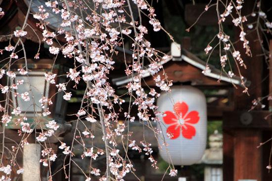 2016桜だより5 平野神社 魁さくら_e0048413_16312020.jpg