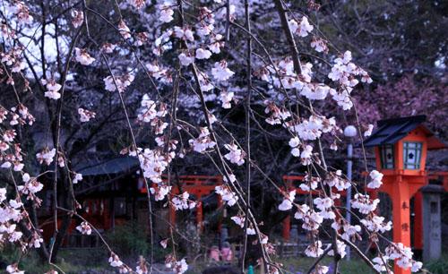 2016桜だより5 平野神社 魁さくら_e0048413_16313275.jpg
