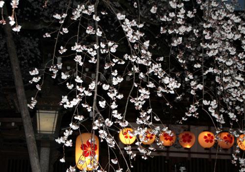 2016桜だより5 平野神社 魁さくら_e0048413_1632714.jpg