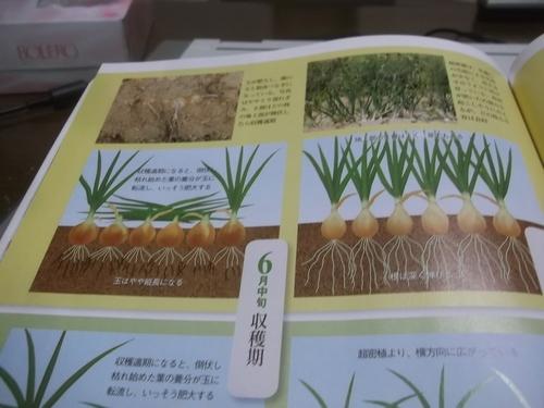 玉ねぎ..初収穫です。_b0137932_10193186.jpg